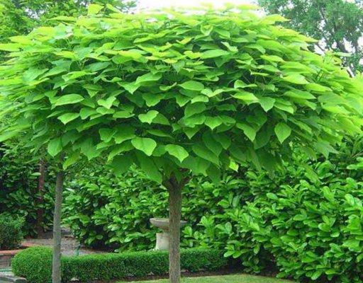 1-15公分梓树