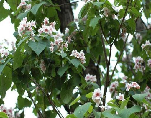 12公分楸树价格