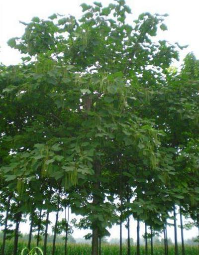 1-15公分梓树价格