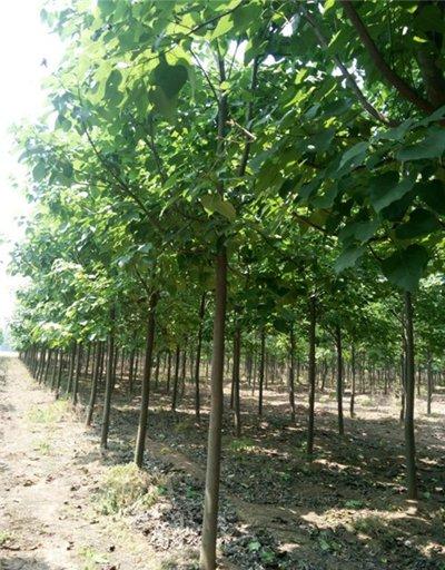 河南1-15公分梓树